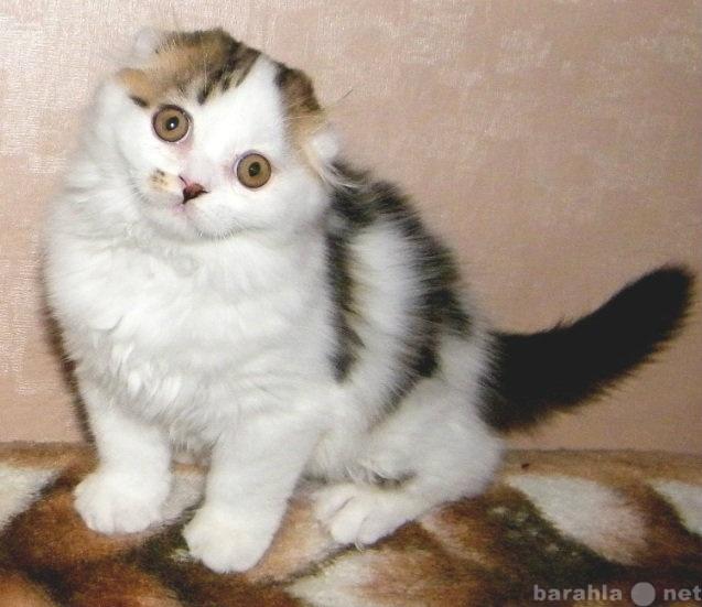 Продам Шотландский котенок (хайленд фолд)