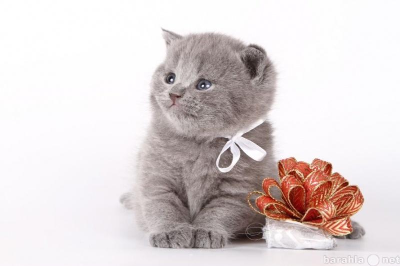 Продам Британские чистокровные котята!