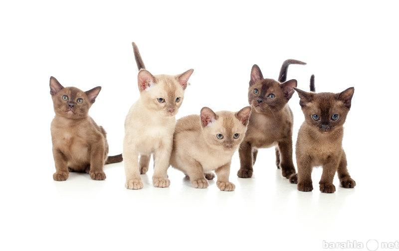 Продам Бурманские котята