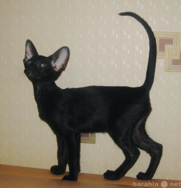 Продам Ориентальный черный котенок