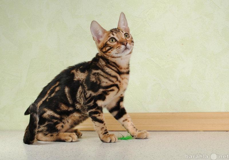 плотнее бенгал кот фото мраморный сырье идет изготовление