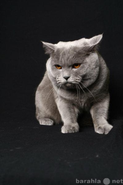 Продам продаю котят породы Скоттиш-фолд,страйт