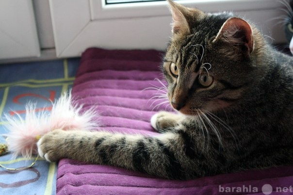 Отдам даром Молодой тигровый кот Сластик  в дар!