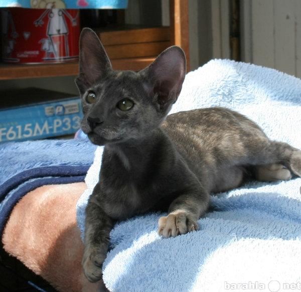 Продам Ориентальные котята с родословной