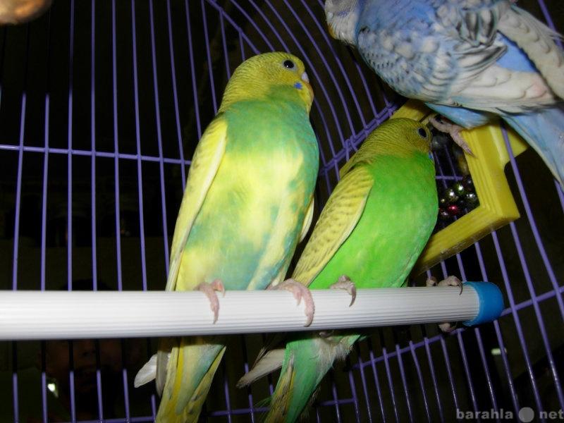 Продам Волнистые попугайчики