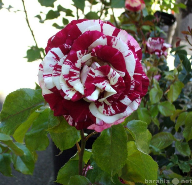 купить розы саженцы в санкт-петербурге