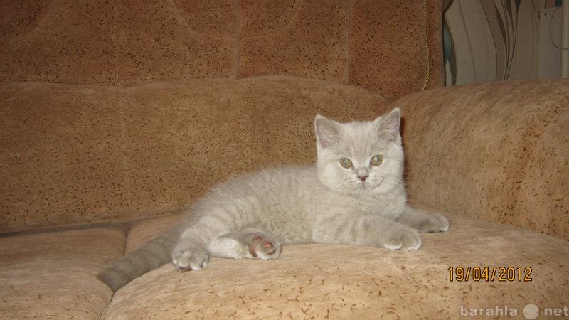 Продам Продам британского котика