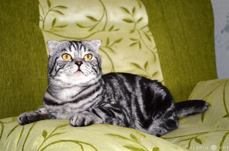 Продам продается шикарный шотландский котенок