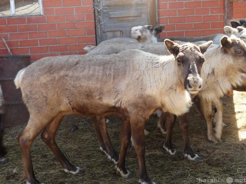 Продам Северные олени