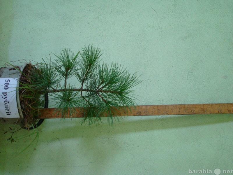 Продам саженцы сибирского кедра