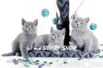 Продам Только голубые британские котята