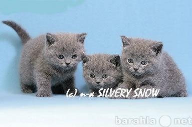 Продам Британские котята из питомника из Москвы