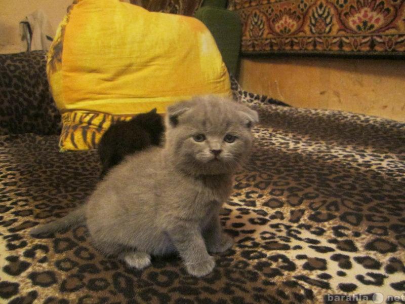 Продам Продам шотландских вислоухих котят