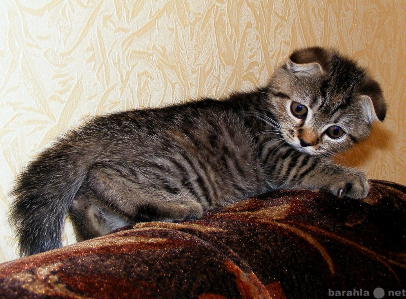 Продам Шотландские котят фолд и страйт клубные