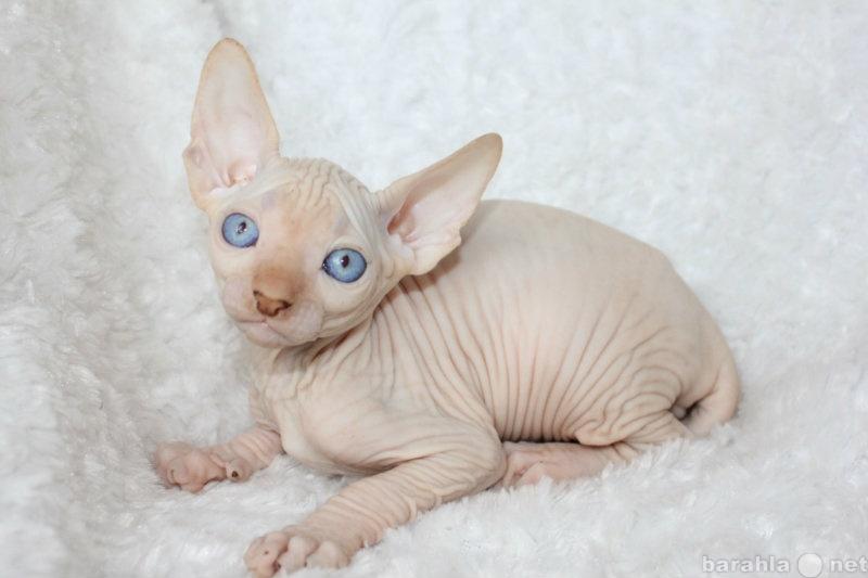 Продам Канадский сфинкс котята