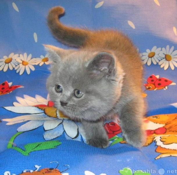 Продам Роскошные британские голубые котята
