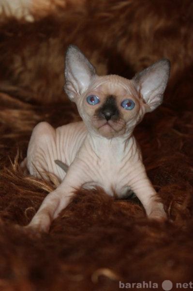 Продам Канадский сфинкс,голубоглазые котята