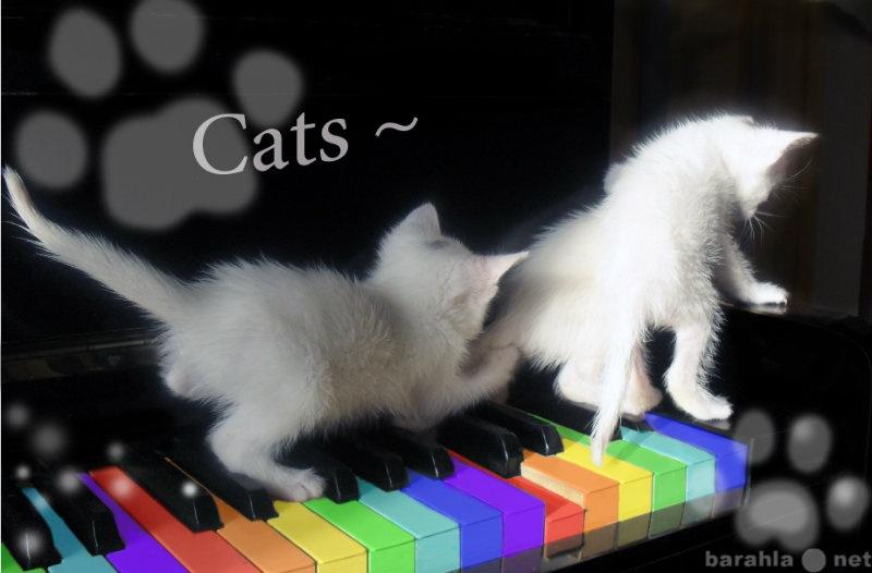 Продам Белых голубоглазых котят