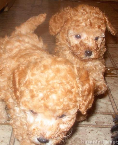 Продам Продаются щенки очаровательные кудряшки!