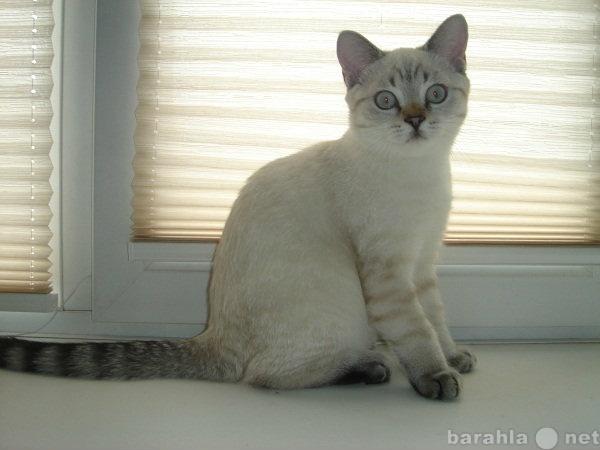 Продам Эффектный британский котенок