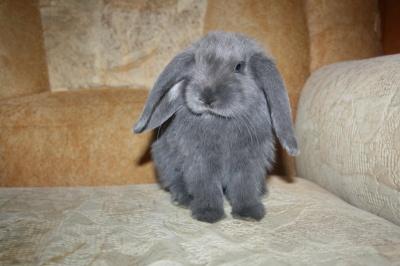 Продам Карликовый вислоухий кролик в Кемерово - Барахла.Нет в Кемерово