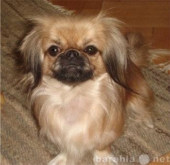 Приму в дар любую мини-собачку