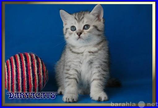 Продам Эксклюзивные британские котята