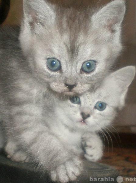 Продам Британские котята н-нада?