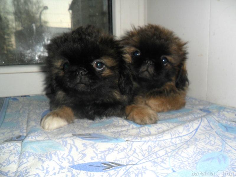 Продам щенок пекинеса