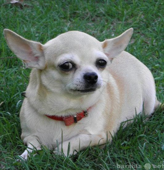 яркая стандартная чихуахуа жирная фото миниатюрная брюнетка давно