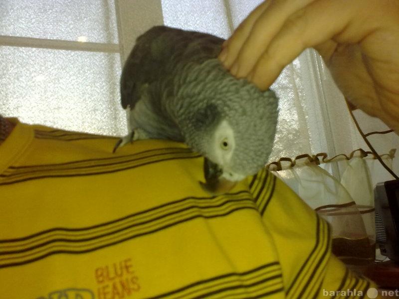 Продам: Говорящий ручной попугай жако