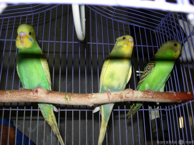 Продам Птенцы волнистых попугайчиков