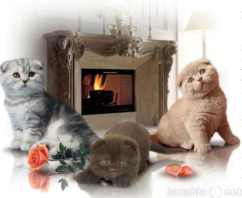 Продам: Элитные котята британцы и вислоухие