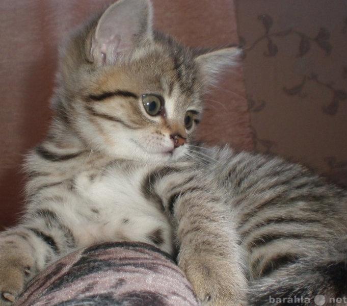 Продам Продам славных британских котят