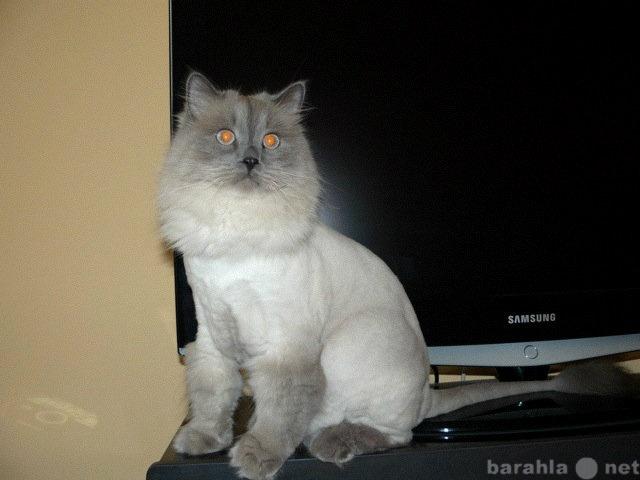 Отдам даром котик сибирская-невская маскарадная