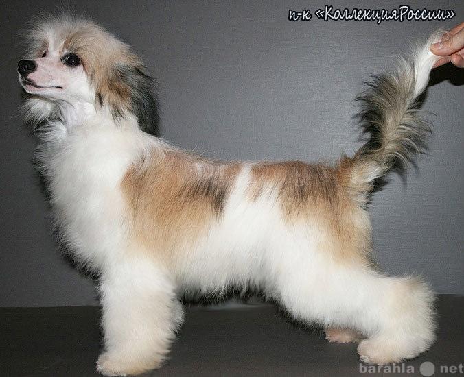 Продам Китайской хохлатой собачки щенки,пуховые