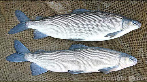 Продам северная рыба :чир муксун