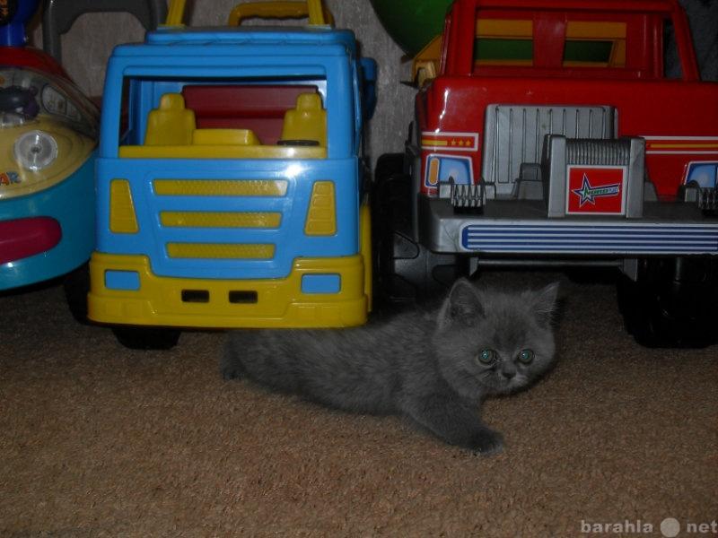 Продам Британского котика