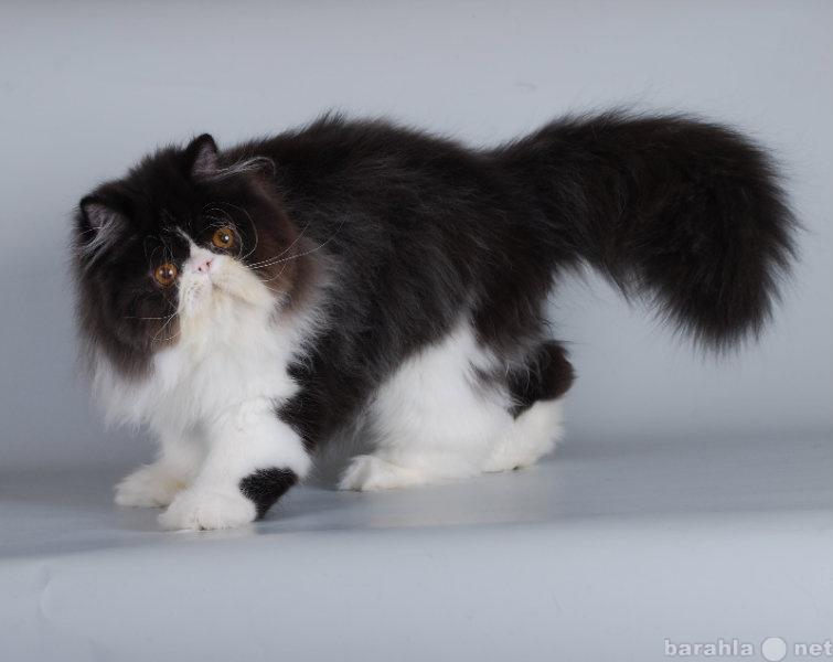 Продам персидский котёнок