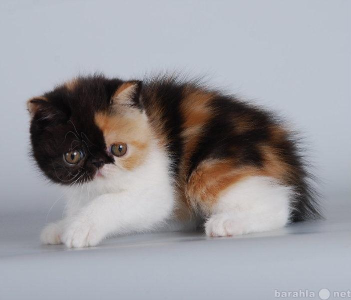 Продам экзотический короткошерстный котёнок