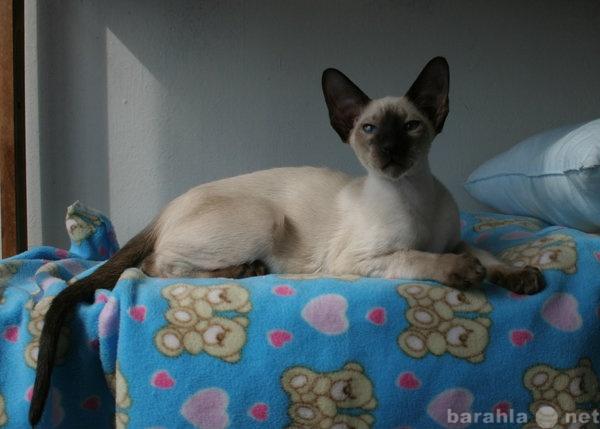 Продам Сиамский котенок с родословной