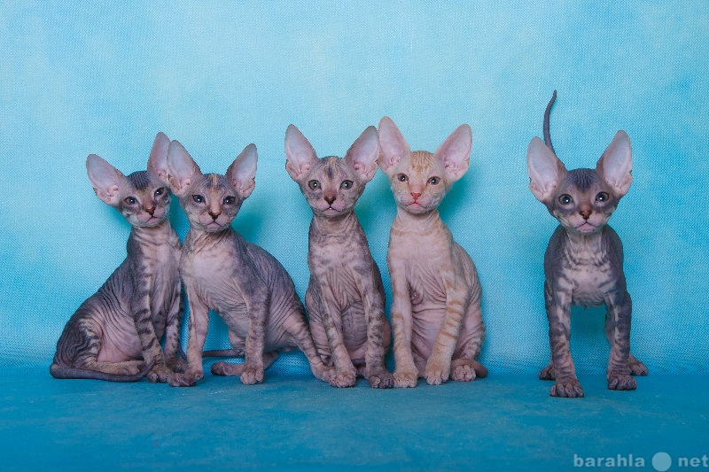 Продам Донские котятки