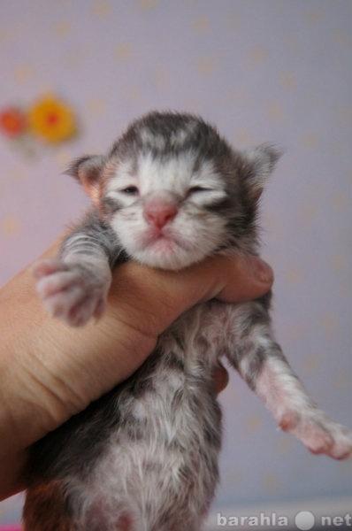 Продам Мейн Кун!Крупные котята редких окрасов!
