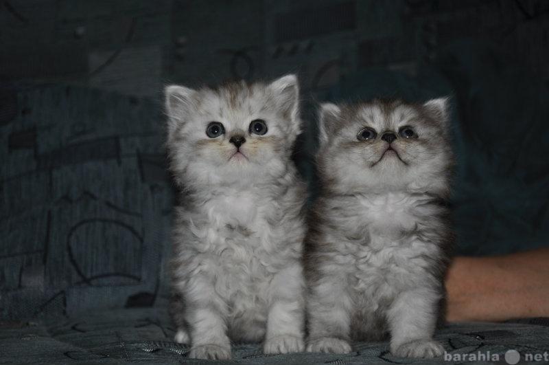 Продам Персидские котята классики