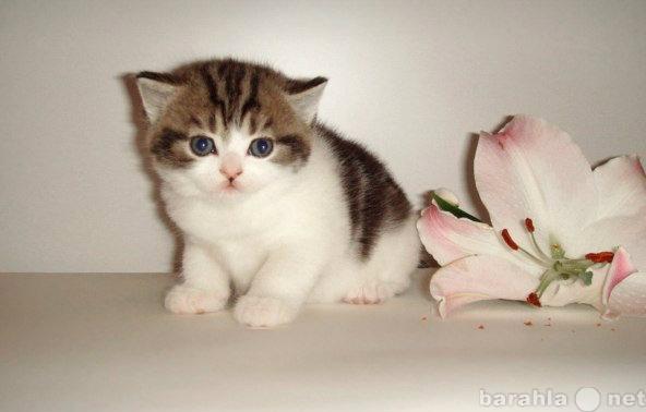 Продам Котята породистые британские