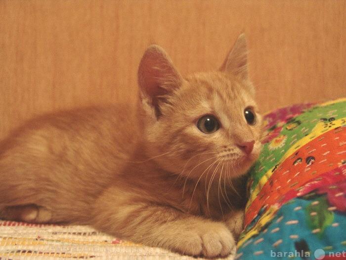 Отдам даром Золотой котенок - девочка
