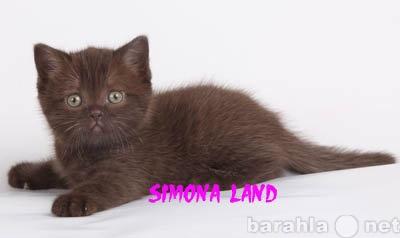 Продам Шоколадные и колорные британские котята