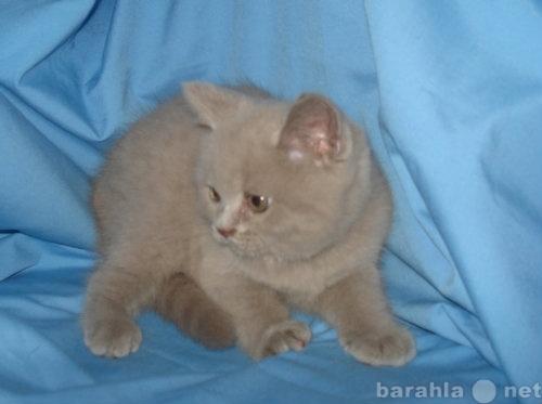 Продам британские клубные котята