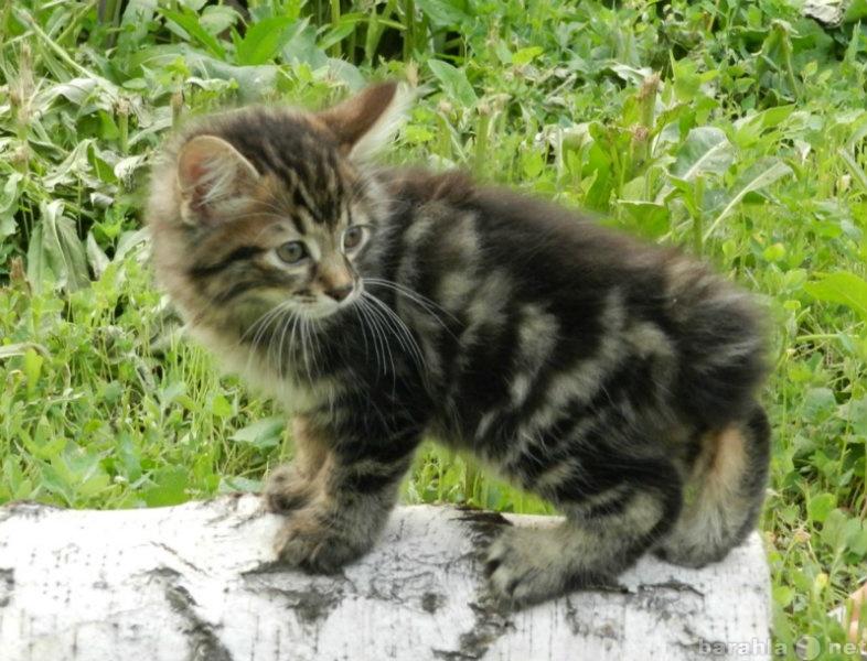 Продам Мраморные котята Курильского бобтейла