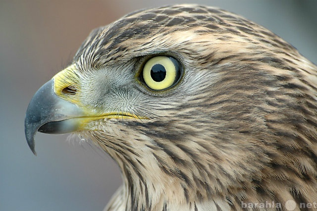 Приму в дар Приму в дар хищную птицу